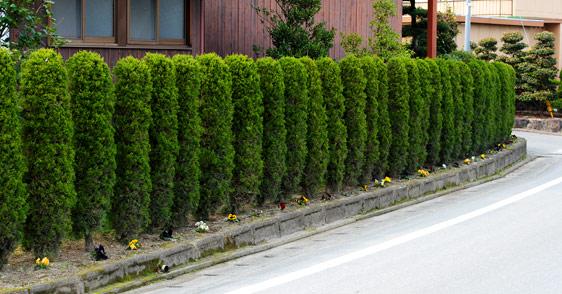 カイヅカイブキの画像 p1_21